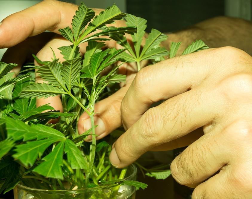 Frische Cannabis-Klone mit beschnittenen Blättern