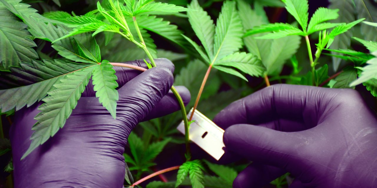 Cannabis-Stecklinge schneiden & klonen