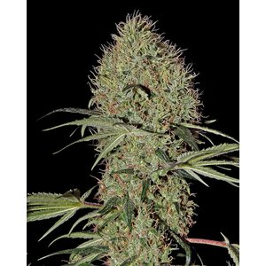 Greenhouse Super Bud Auto Hanfsamen