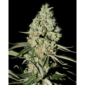 Greenhouse Super Critical Hanfsamen