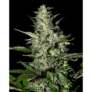 Greenhouse Super Critical Auto Hanfsamen