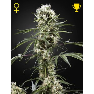 Greenhouse Super Lemon Haze Hanfsamen 10 Stück