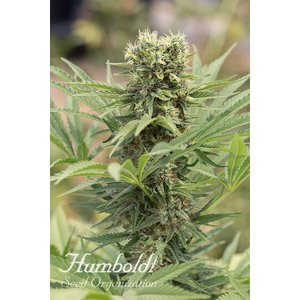 Humboldt Dr. Greenthumbs Dedoverde Haze by B-Real Hanfsamen