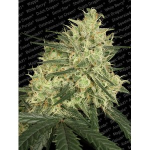 Paradise Seeds Atomical Haze Hanfsamen