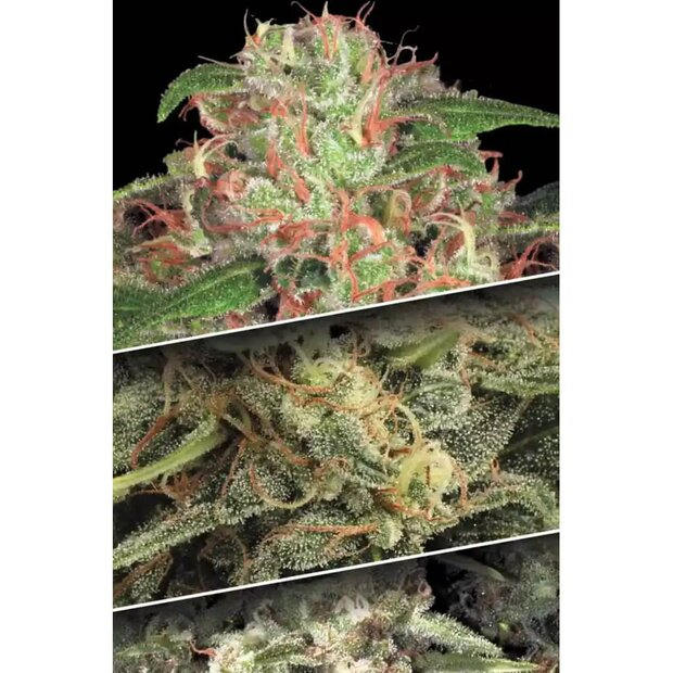 Paradise Seeds Auto Collection Pack #2 Hanfsamen