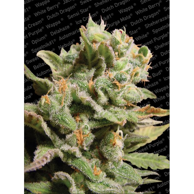 Paradise Seeds Dutch Dragon Hanfsamen