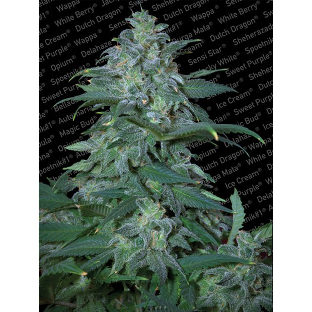 Paradise Seeds Magic Bud Hanfsamen 10 Stück