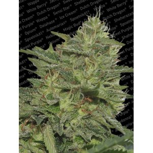 Paradise Seeds Original Cheese IBL Hanfsamen