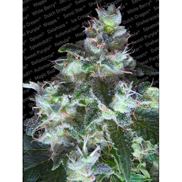 Paradise Seeds Original White Widow IBL Hanfsamen 10 Stück
