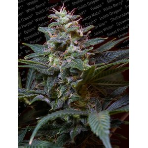 Paradise Seeds Sweet Purple Hanfsamen