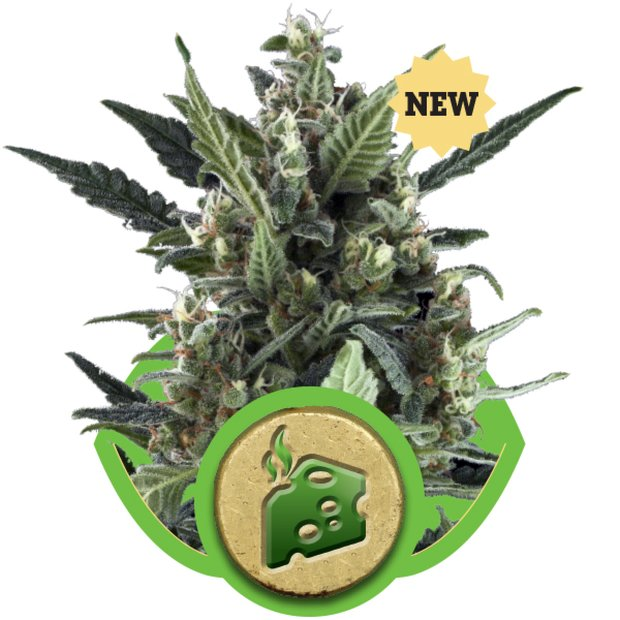 Royal Queen Blue Cheese Auto Hanfsamen 10 Stück