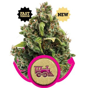 Royal Queen Candy Kush Express Hanfsamen 3 Stück