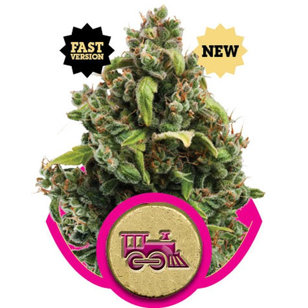 Royal Queen Candy Kush Express Hanfsamen 10 Stück