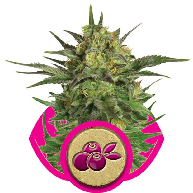 Royal Queen Haze Berry Hanfsamen