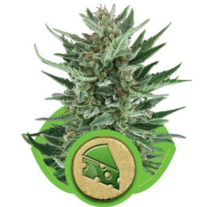 Royal Queen Royal Cheese Auto Hanfsamen