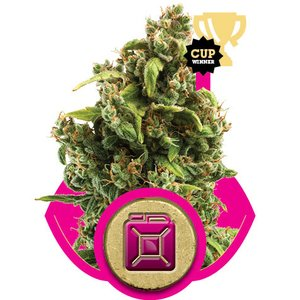 Royal Queen Sour Diesel Hanfsamen
