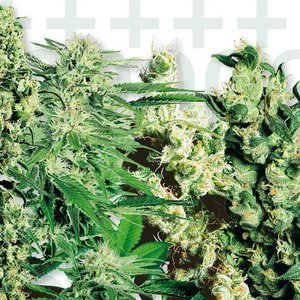Sensi Seeds Feminised Mix Hanfsamen