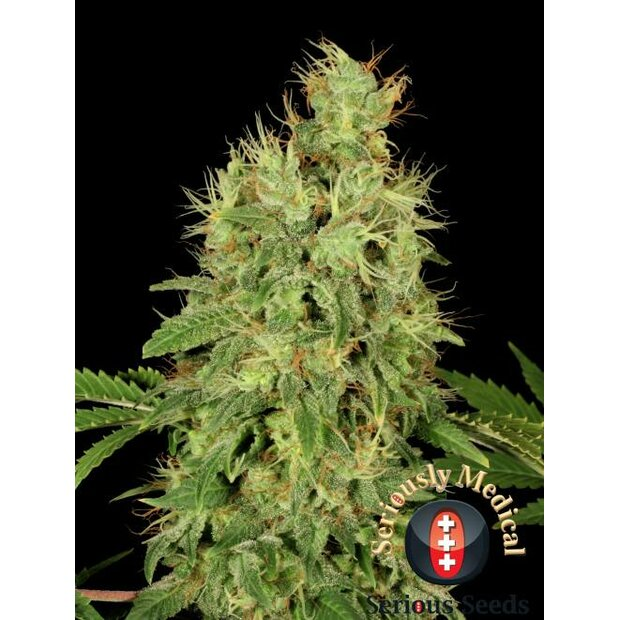 Serious Seeds CBD Chronic Hanfsamen