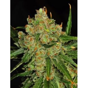 Spanish Seeds Northern Lights x White Widow BULK...