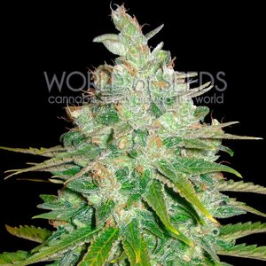 World of Seeds Afghan Kush x Black Domina Hanfsamen
