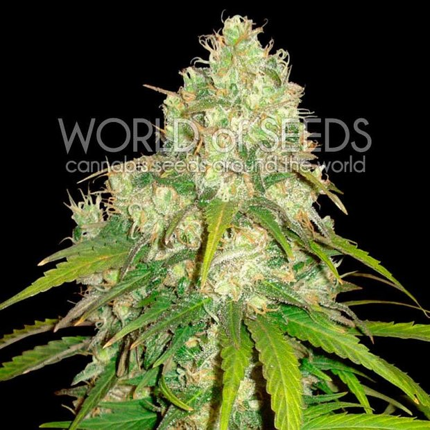 World of Seeds Afghan Kush x Yumbolt Hanfsamen