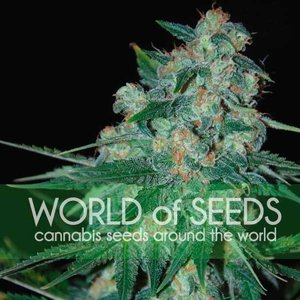 World of Seeds Ketama Hanfsamen