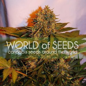 World of Seeds Northern Light x Big Bud Auto Hanfsamen
