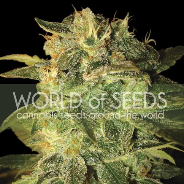 World of Seeds Sugar Mango Ryder Auto Hanfsamen