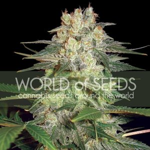 World of Seeds Afghan Kush Ryder Auto Hanfsamen
