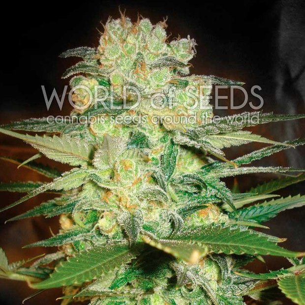 World of Seeds Afghan Kush x White Widow Hanfsamen