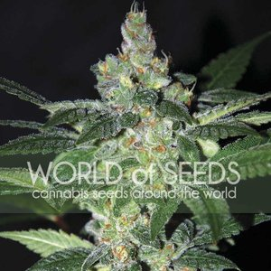 World of Seeds Amnesia Hanfsamen
