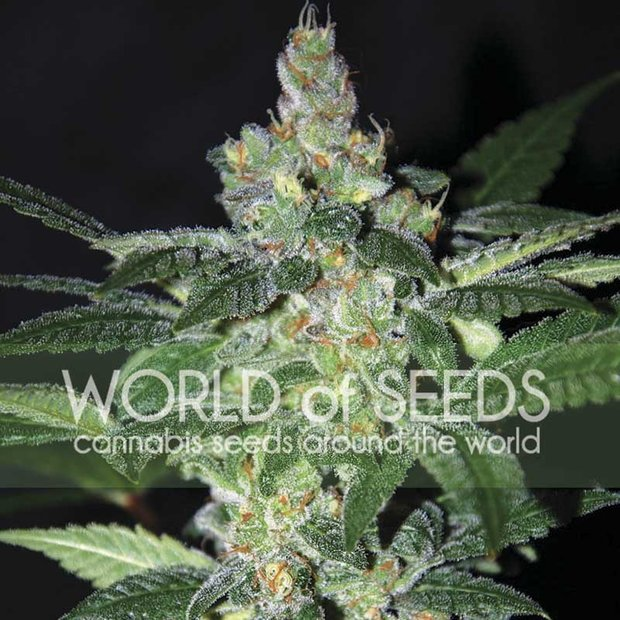 World of Seeds Amnesia Hanfsamen 7 Stück