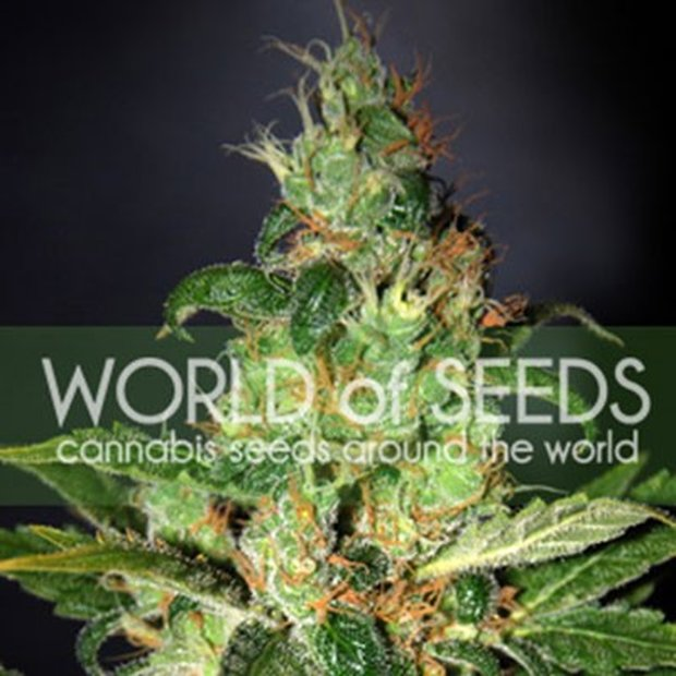 World of Seeds Chronic Haze Hanfsamen