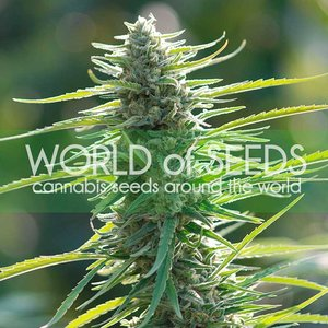 World of Seeds Colombian Gold Hanfsamen