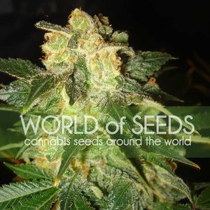 World of Seeds Pakistan Ryder Auto Hanfsamen