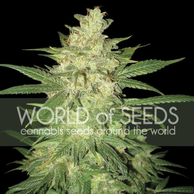 World of Seeds Sweet Coffee Ryder Auto Hanfsamen