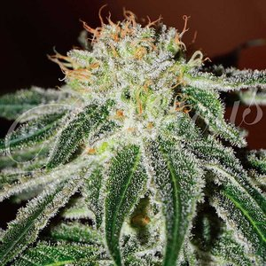 Delicious Seeds Black Russian Hanfsamen