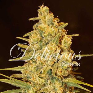 Delicious Seeds Critical Sensi Star Hanfsamen
