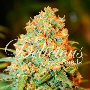 Delicious Seeds Critical Super Silver Haze Hanfsamen 10...