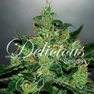 Delicious Seeds Critical Jack Herer Auto Hanfsamen