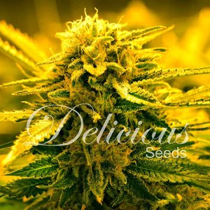 Delicious Seeds Sugar Black Rose Auto Hanfsamen