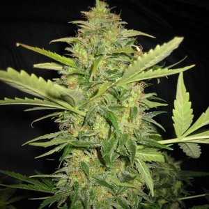 Spanish Seeds Early Skunk x AK BULK Hanfsamen